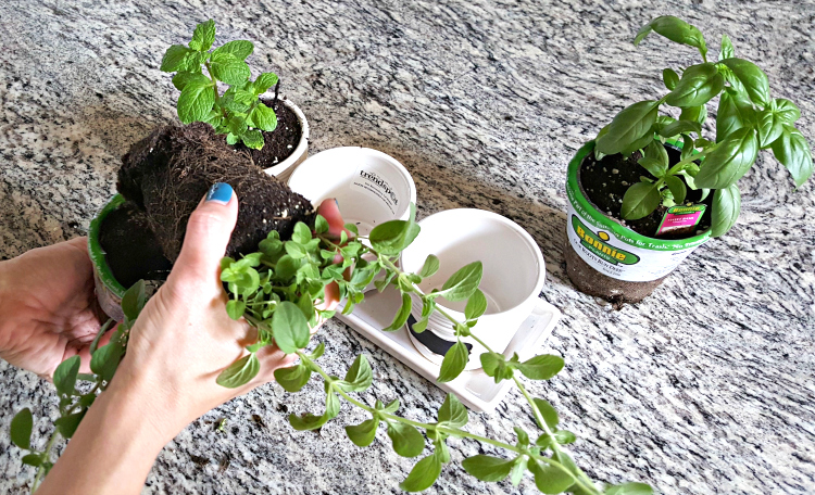 Replanting Herbs To Create A Kitchen Herb Garden | From Dates To Diapers